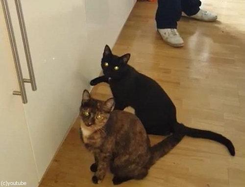 猫2匹が戸棚を連打05