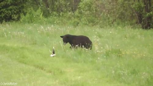 絶体絶命のスカンクがクマを撃退する瞬間03