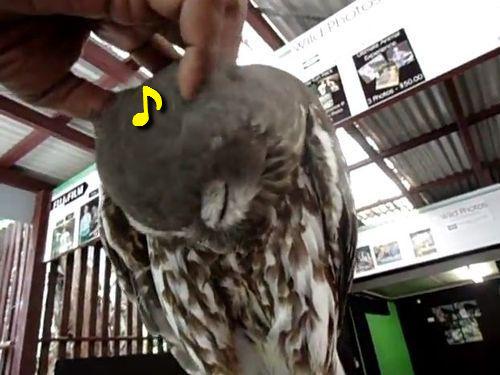 (動画) こんなかわいい声してるとは…フクロウをナデナデした時の反応