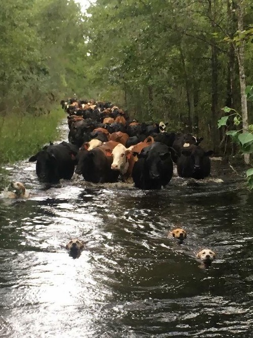 勇敢な犬たち、牛を安全なところへ導く01