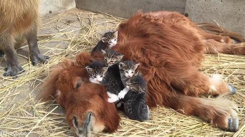 ミニチュアホースに甘える子猫たち01