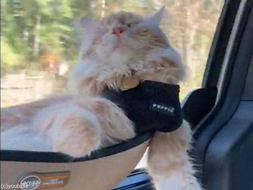 車で爆睡する猫00