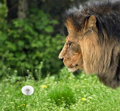 ライオン07