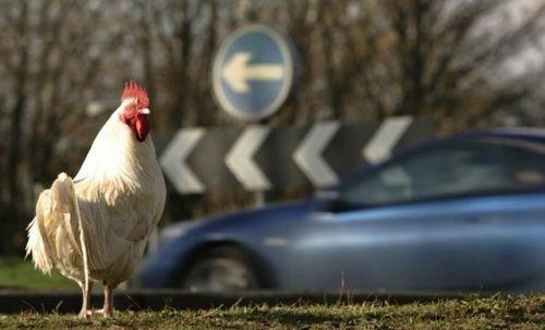 道路を渡る動物03