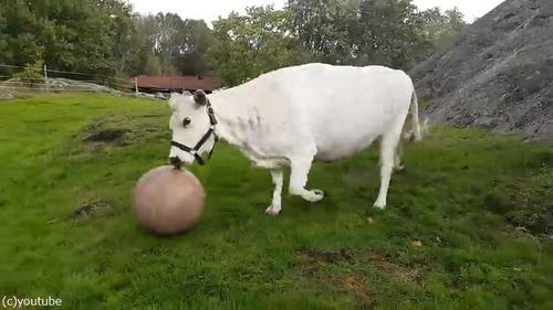 1001牛もボール遊びをするんだなぁ04