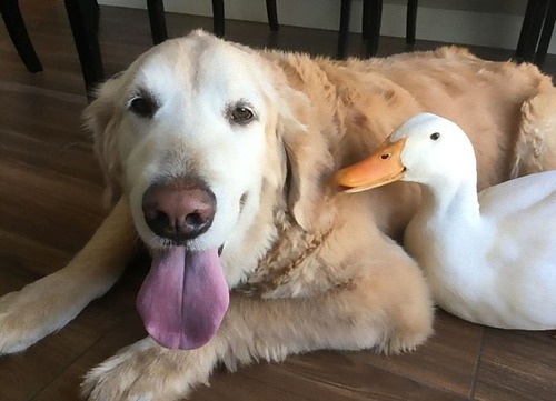 アヒルと犬が親友に11