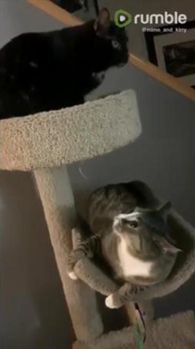 同居猫のジャンプに全力で驚く猫01