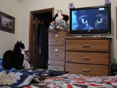 猫の番組を見つめる猫07