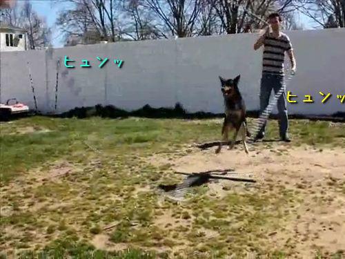 2本の縄跳びを跳ぶ犬
