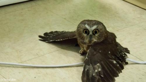 地面を飛ぶフクロウ06