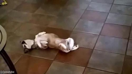 犬が仰向けにくねくね01