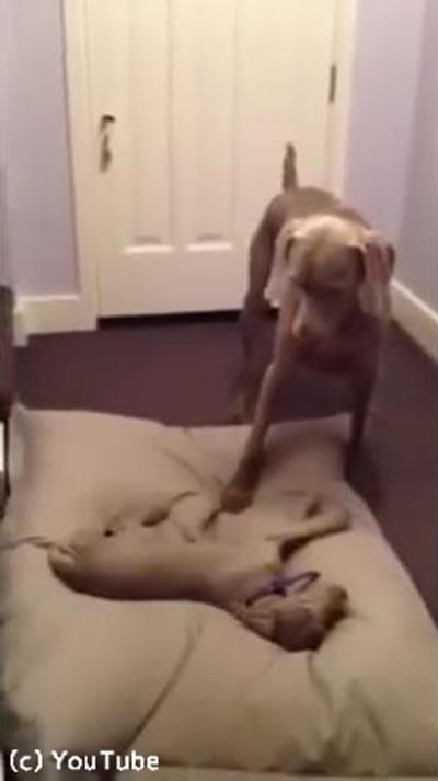 お兄ちゃんのベッドを奪う子犬01