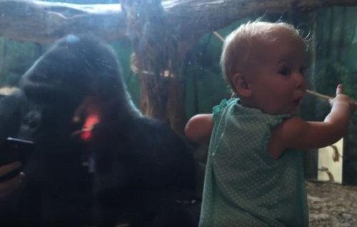 ゴリラにゴリラの写真を見せてみた04