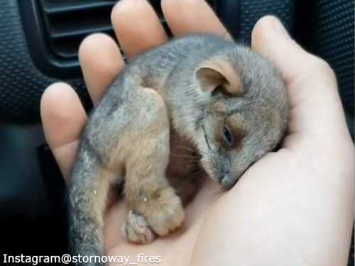 なんて小さいの…山火事から救出された赤ちゃんポッサム00