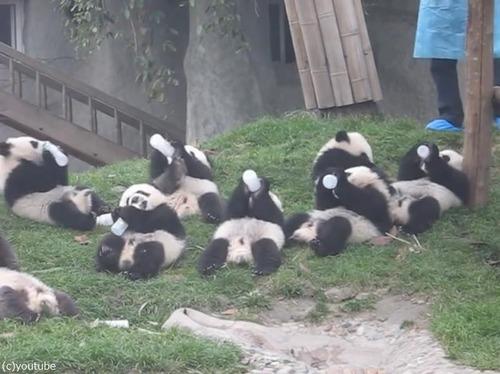パンダの赤ちゃん03