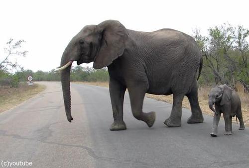 赤ちゃんゾウを守る母親ゾウ03