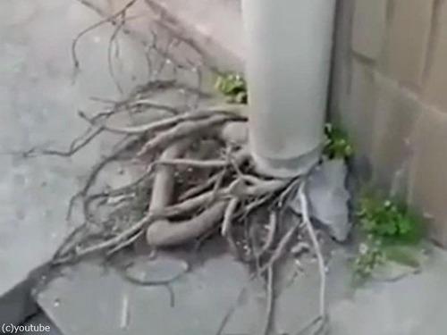 排水管の根っ子01