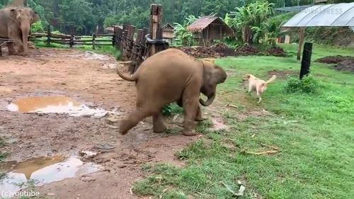 ワンコを追いかけようとして滑る赤ちゃんゾウ02