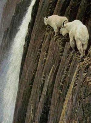 ヤギの崖を登る能力01