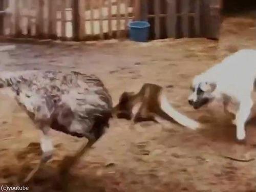 エミューと犬04