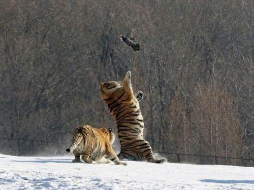 虎のジャンプ失敗02