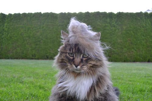 ブラッシングした猫の抜け毛をかつらに14