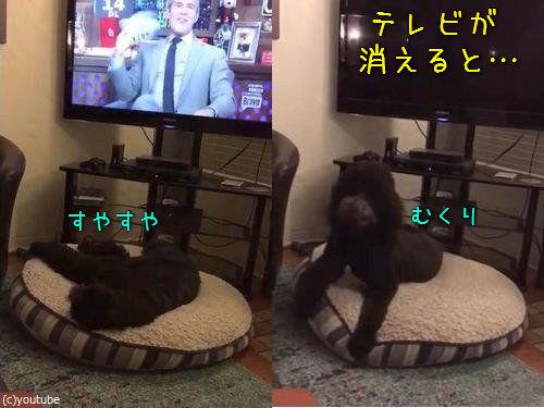 テレビが消えると「よいこは寝る時間」と自室に戻る犬00