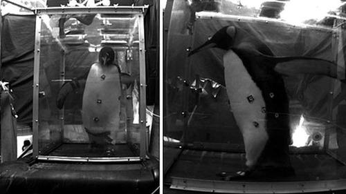 ペンギンにルームランナーをさせた研究01