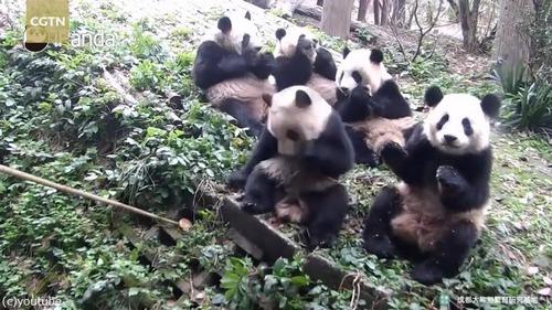 ドジっ子パンダ「おやつが見つからないの」04