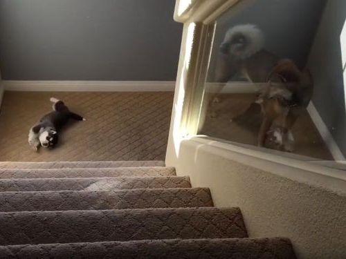 ハスキーの子犬と階段07