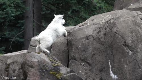 崖登りの練習をするヤギの子ども03