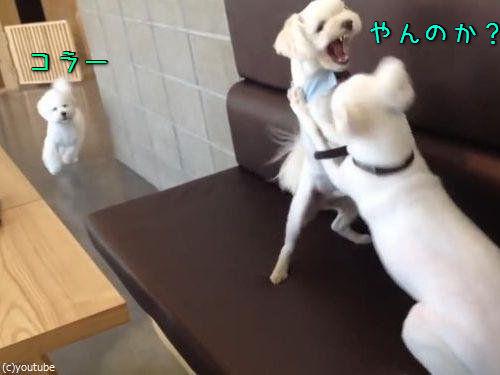 ケンカを始めた犬2匹と仲裁する1匹00