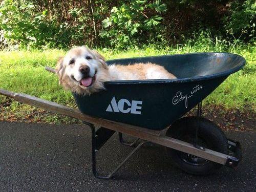 年老いた犬を手押し車に乗せた01