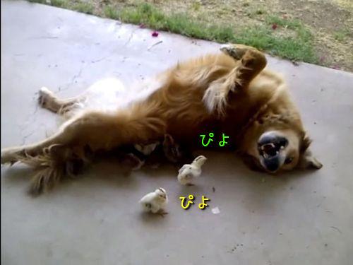 ヒナを育てる犬の養母00