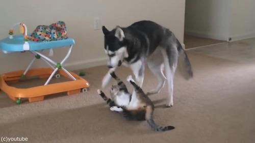 犬の背中に飛び乗ろうとする猫05