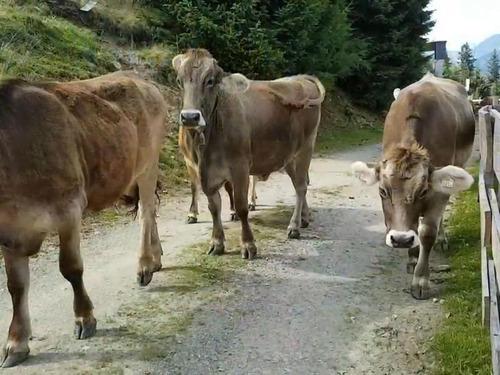オーストリア観光中の女性が放牧中の牛に襲われて死亡01
