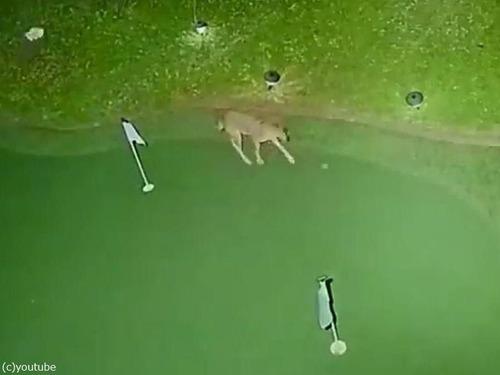 コヨーテが裏庭でゴルフ00