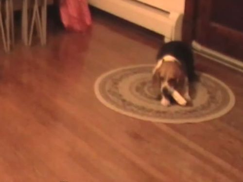 天才犬01