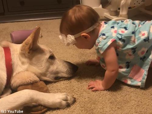 犬、赤ちゃんにキスのお返し00