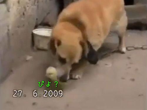 犬とひよこ00