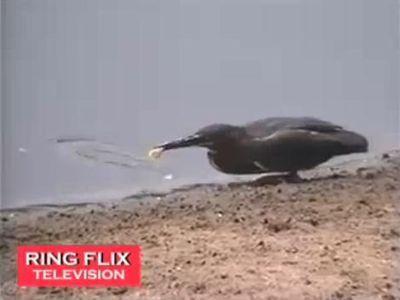 エサをつかって魚をとる鳥