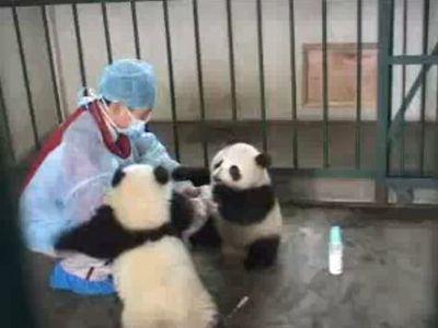 パンダの赤ちゃんとミルク