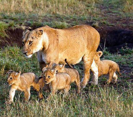 ライオンに8匹の赤ちゃん01