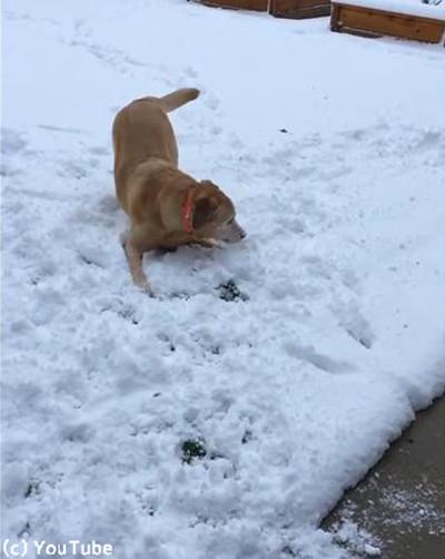 消えた雪玉が理解できないワンコ03