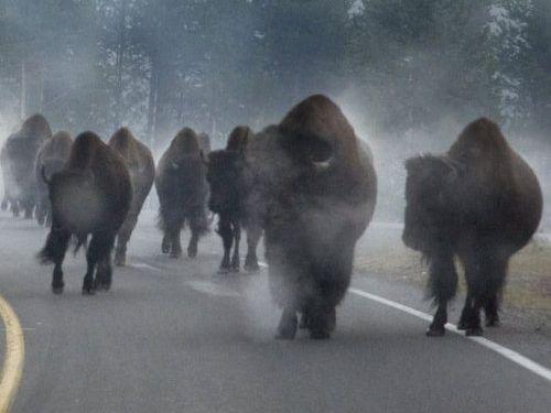 イエローストーン国立公園のラッシュアワー03