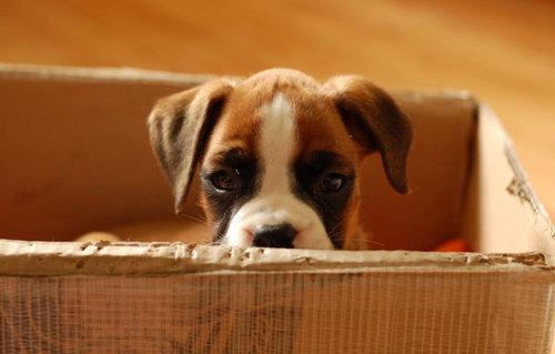 箱好きの犬09