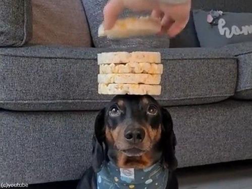 頭の上に8枚のお餅を乗せる犬03