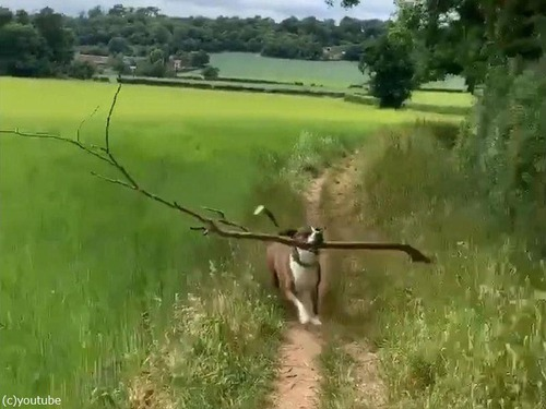 大きな枝を拾ってくる犬02