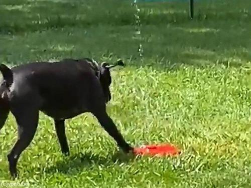 噴水のおもちゃと犬02