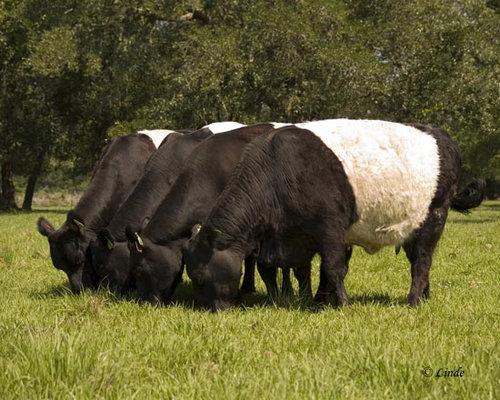 オレオみたいな牛09